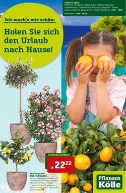 Angebote von Baumärkte und Gartencenter im Pflanzen Kölle Prospekt ( Mehr als 30 Tage)